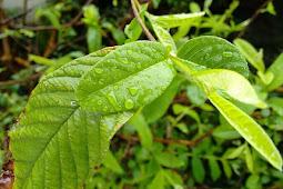 3 Besar manfaat daun jambu biji untuk kesehatan tubuh