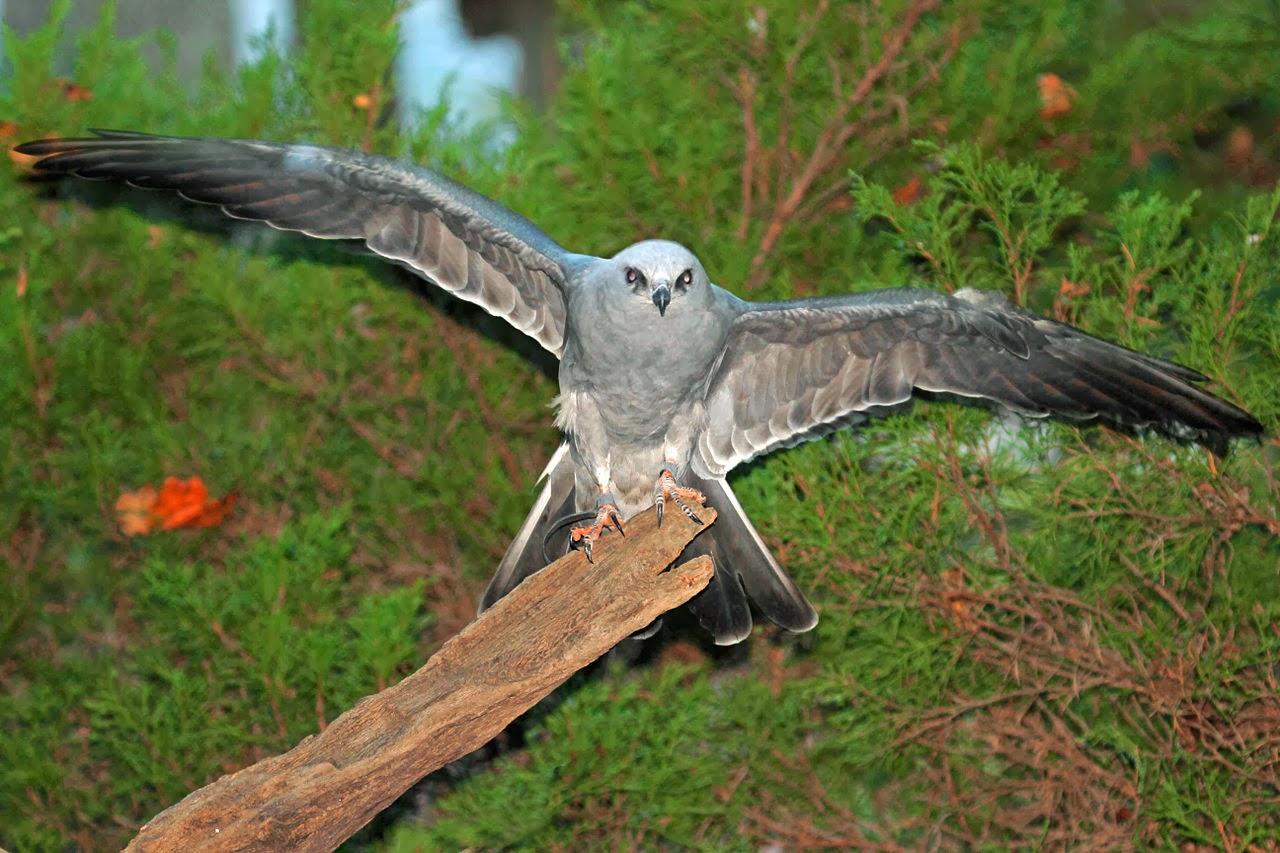 World Beautiful Birds Mississippi Kites