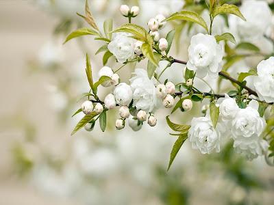Lovely White Rose wallpaper