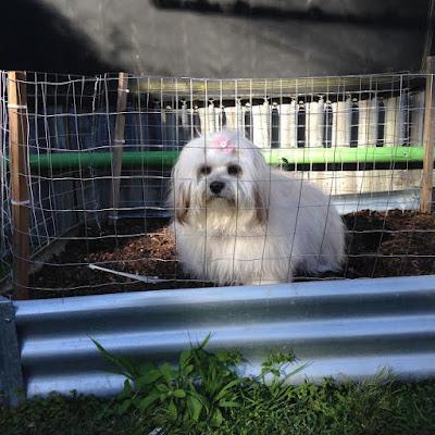 Trixie inside the veggie patch