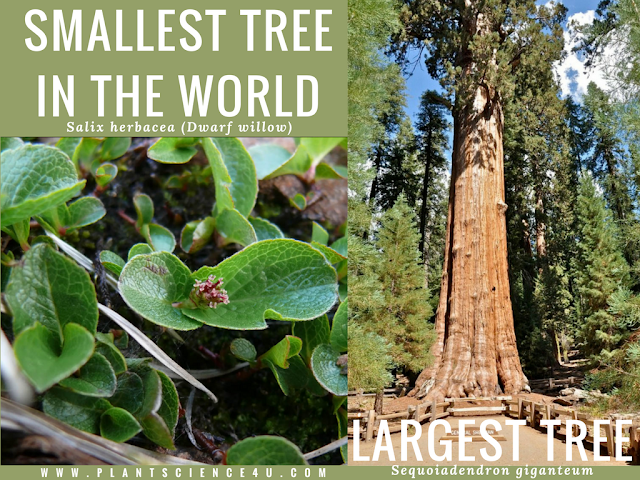 smallest and largest tree in the world - Dwarf willow and Sequoiadendron