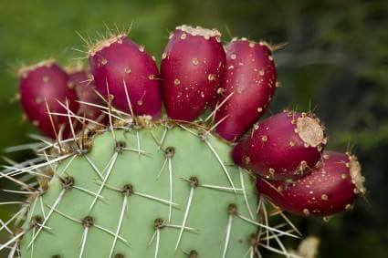 Prickly pear cactus fruit opuntia - Advantages of cactus plant ...