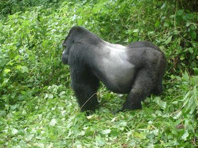 gorila oriental Gorilla beringei