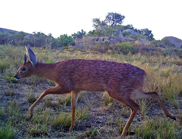 Cape Grysbok, Kaapse Grysbok, Raphicerus melanotis