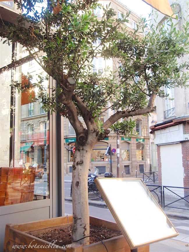 large-potted-olive-tree-topiary-outside-paris-restaurant