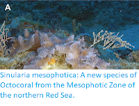 http://sciencythoughts.blogspot.co.uk/2017/06/sinularia-mesophotica-new-species-of.html