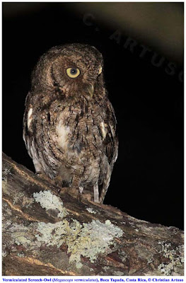 Christian Artuso: Birds, Wildlife: Owls of Costa Rica - photo#43