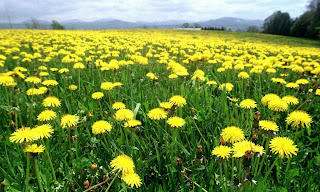 Dandelions Are An Herbal Plant And A Medicinal Plant