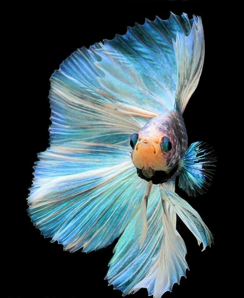 Gambar Wallpaper Ikan Cupang Hias Aduan Iphone Hd Walpaper