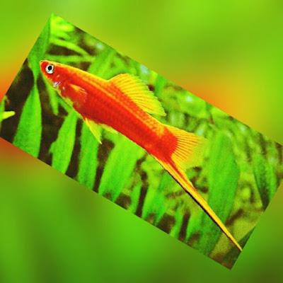 Jenis Ikan Hias Air Tawar swortail , ikan pedang