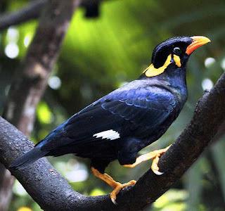 Image result for burung tiung