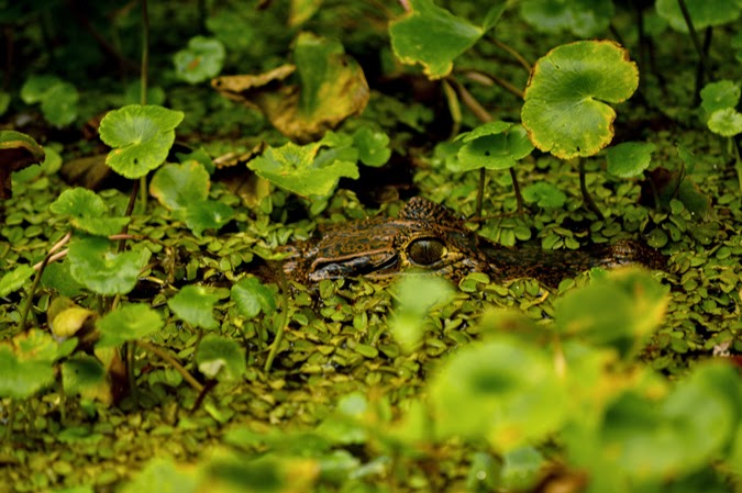 Caiman crocodiles in Costa Rica
