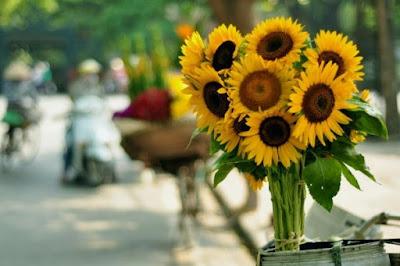 Hoa hướng dương đẹp nhất thế giới 19