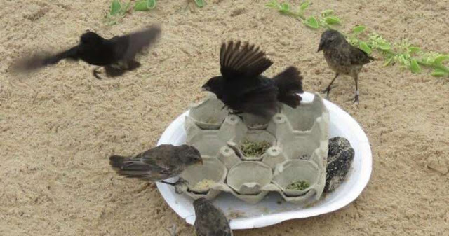 Darwin's finches have developed a taste for junk food, and it may be impacting their evolution