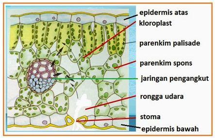 Gambar Struktur Anatomi Daun Dikotil Dan Monokotil