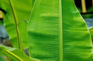 benefit of banana leaves to cure fever