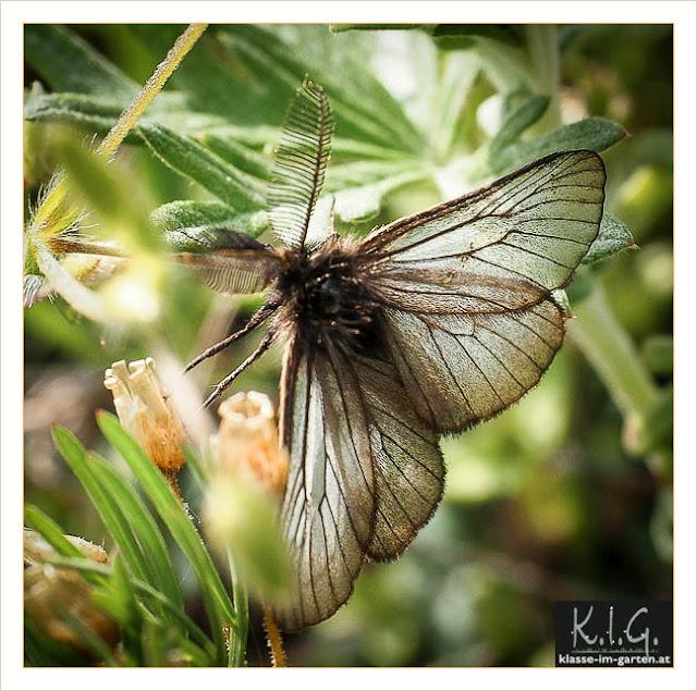 Trauerspinner (Penthophera morio)