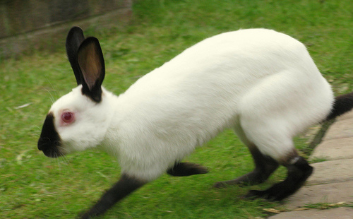 Himalayan Rabbit The Life Of Animals