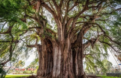 Pohon Tule, Meksiko