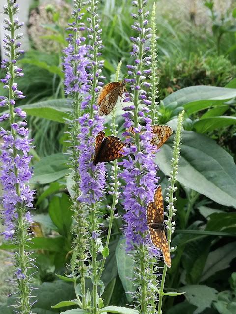 motyle na kwiatach przetacznika