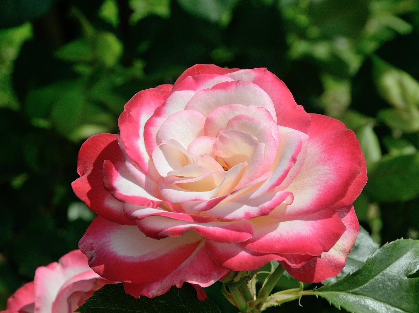 Купить в минске розы на рассаду заказать букет невесты недорого пермь