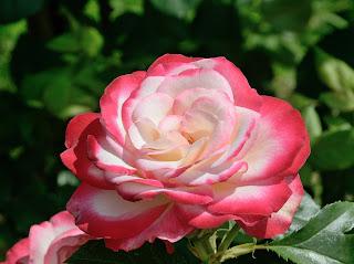 Jubile du Prince de Monaco роза сорт фото купить саженцы в Минске Питомник