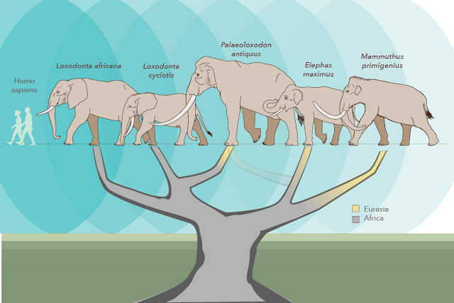 Genetic study shakes up the elephant family tree