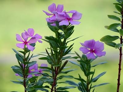 Mungkin anda mengenal tapak dara hanyalah sebagai flora liar yg tumbuh tanpa banyak or 29 Manfaat Tapak Dara Bagi Kesehatan Dan Cara Meramunya
