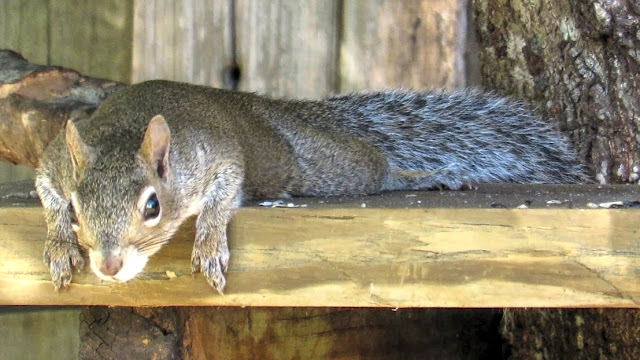 Exhausted Mother Squirrel