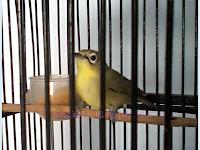 Cara Mendongkrak Volume Burung Pleci