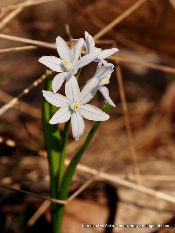 jaki to kwiatek, wiosna, wiosenne kwiatki