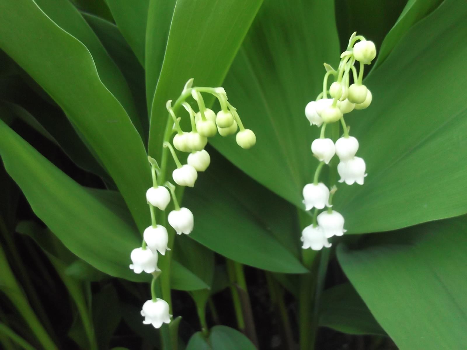 Фотографии полезных растений: Ландыш майский фотографии