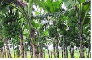 Musaceae (tumbuhan pisang) - pustakapengetahuan.com