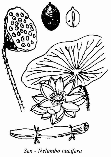 Hình vẽ CÂY SEN - Nelumbo nucifera - Nguyên liệu làm Thuốc Ngủ, An Thần, Trấn Kinh