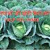 पातगोभी की खेती कैसे करें  How to cultivate Cabbage.Help you hindi