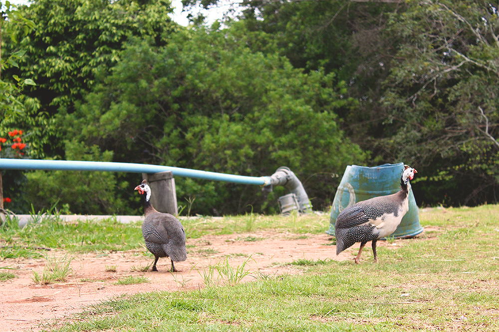 aves-andando-livres-soltas