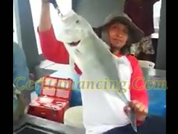 Mancing Ikan Sagai Dapat Strike Ikan GT