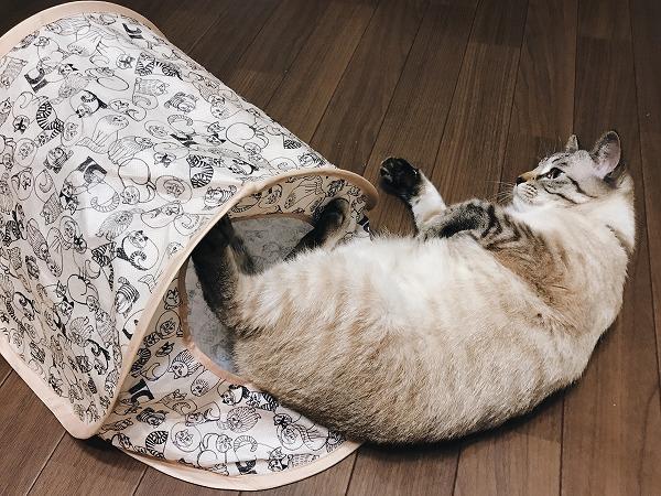 仰向けになってテントを蹴ってるシャムトラ猫