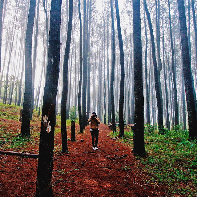 foto pemandangan di hutan pinus imogiri