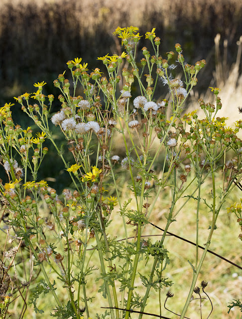 Ragwort, Senecio jacobaea, on the Hawkwood Estate, 30 August 2016