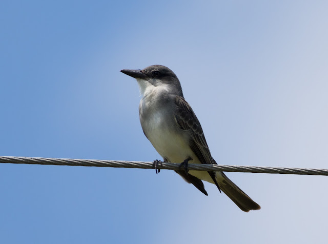Gray Kingbird - Josie Billie Highway, Florida