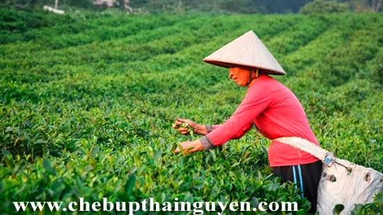 vùng trà la bằng thái nguyên