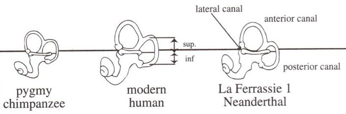 Rh Negative Blood Type Secrets: Elven Ears