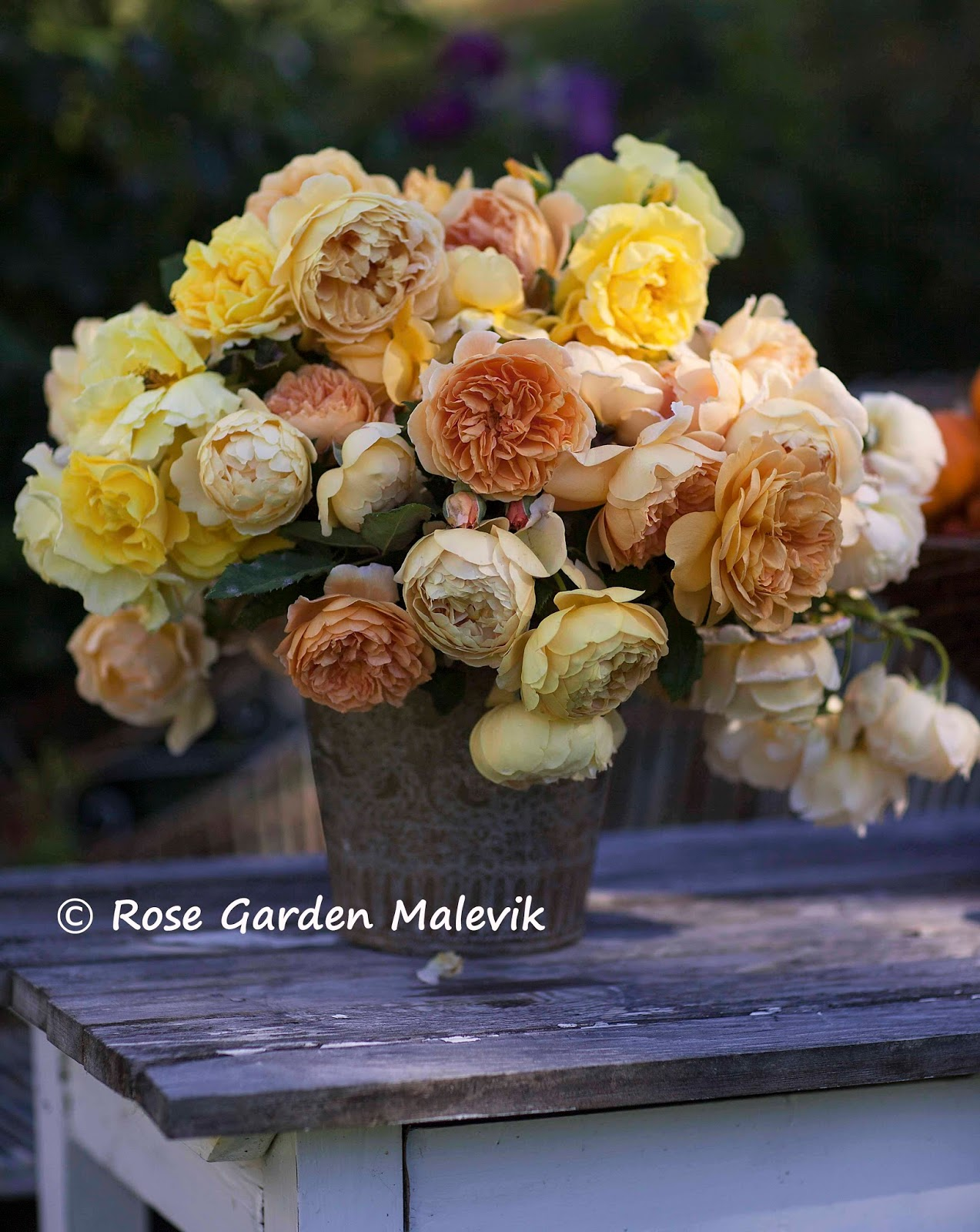 Rose garden malevik: rosor och pumpor ~ roses and pumpkins