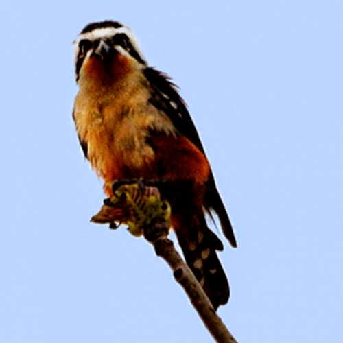 Indian birds - Image of Collared falconet - Microhierax caerulescens