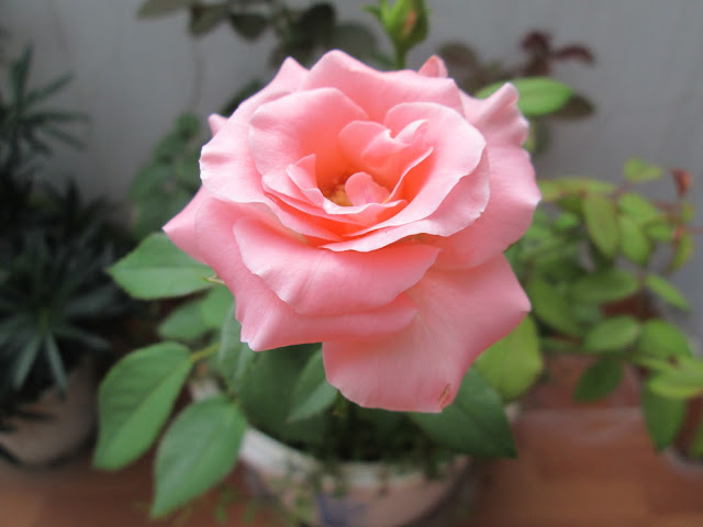 hoa hồng phấn đẹp nhất thế giới 3