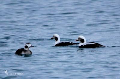 Pato havelda - Long-tailed duck - Clangula hyemalis. Dos machos (derecha) y una hembra (izquierda). Esta última se diferencia bien de los machos por el entorno del ojo blanco y su píleo (capirote) negro además de su plumaje más oscuro y la ausencia de la cola larga.