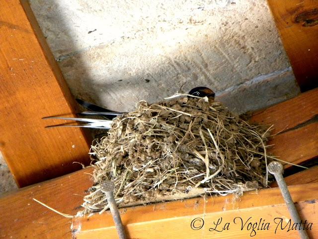 il nido di una rondine in osmiza
