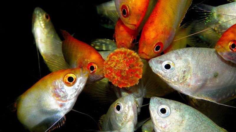 Makanan Ikan Sepat Yang Harus Kamu Ketahui Ikan Hias Air Tawar Laut Dan Aquarium