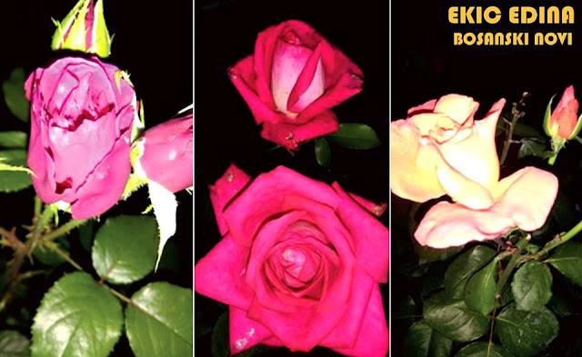 Bosanski Novi, ruže u cvatu